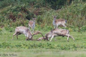Deer rutting at Powderham